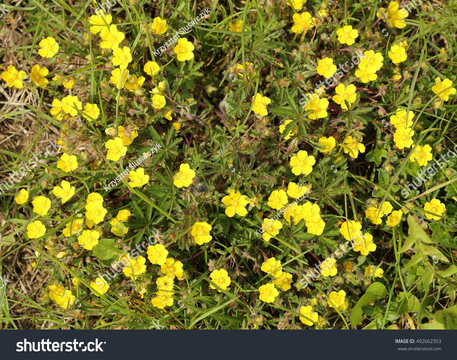 Background Yellow Dandelions With Green Leaves Ez Canvas