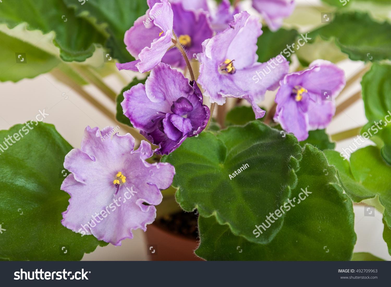 Saintpaulia Varieties Sonata Mail Nlodkaya With Beautiful Light