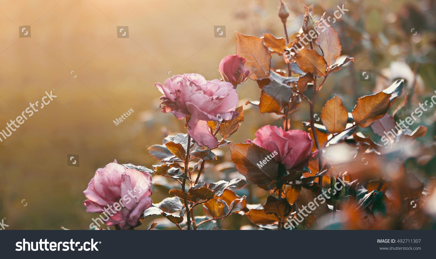 Gorgeous roses on bush in autumn garden, selective focus, shallow depth of field, a lot of space for text, toned colorized shot.