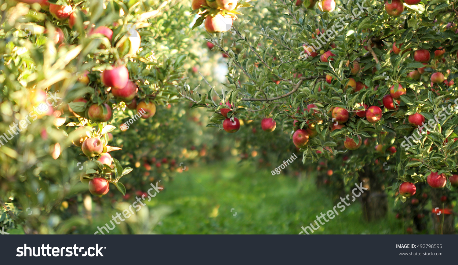 stock-photo-picture-of-a-ripe-apples-in-
