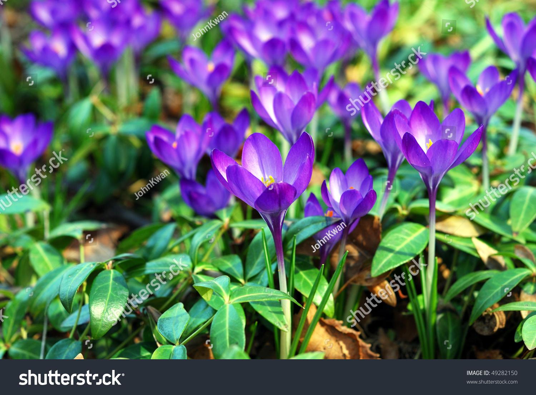 Vivid Small Purple Flowers Garden During Stock Photo Edit Now