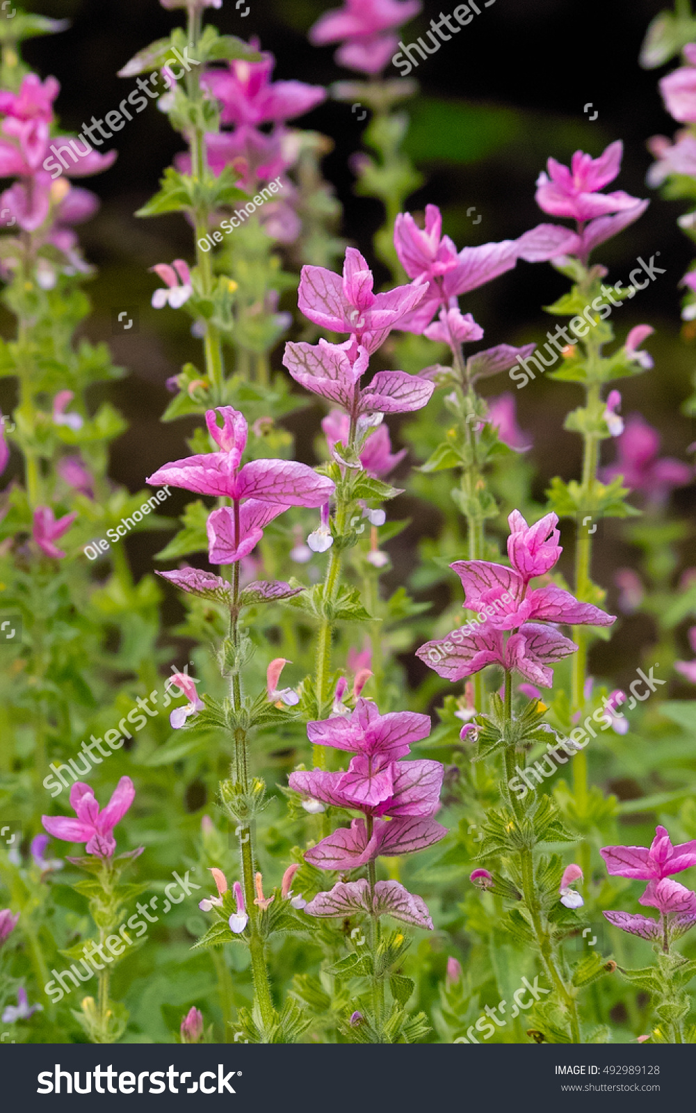 Blooming Field Pink Flowers Green Topped Sage Stock Photo Royalty