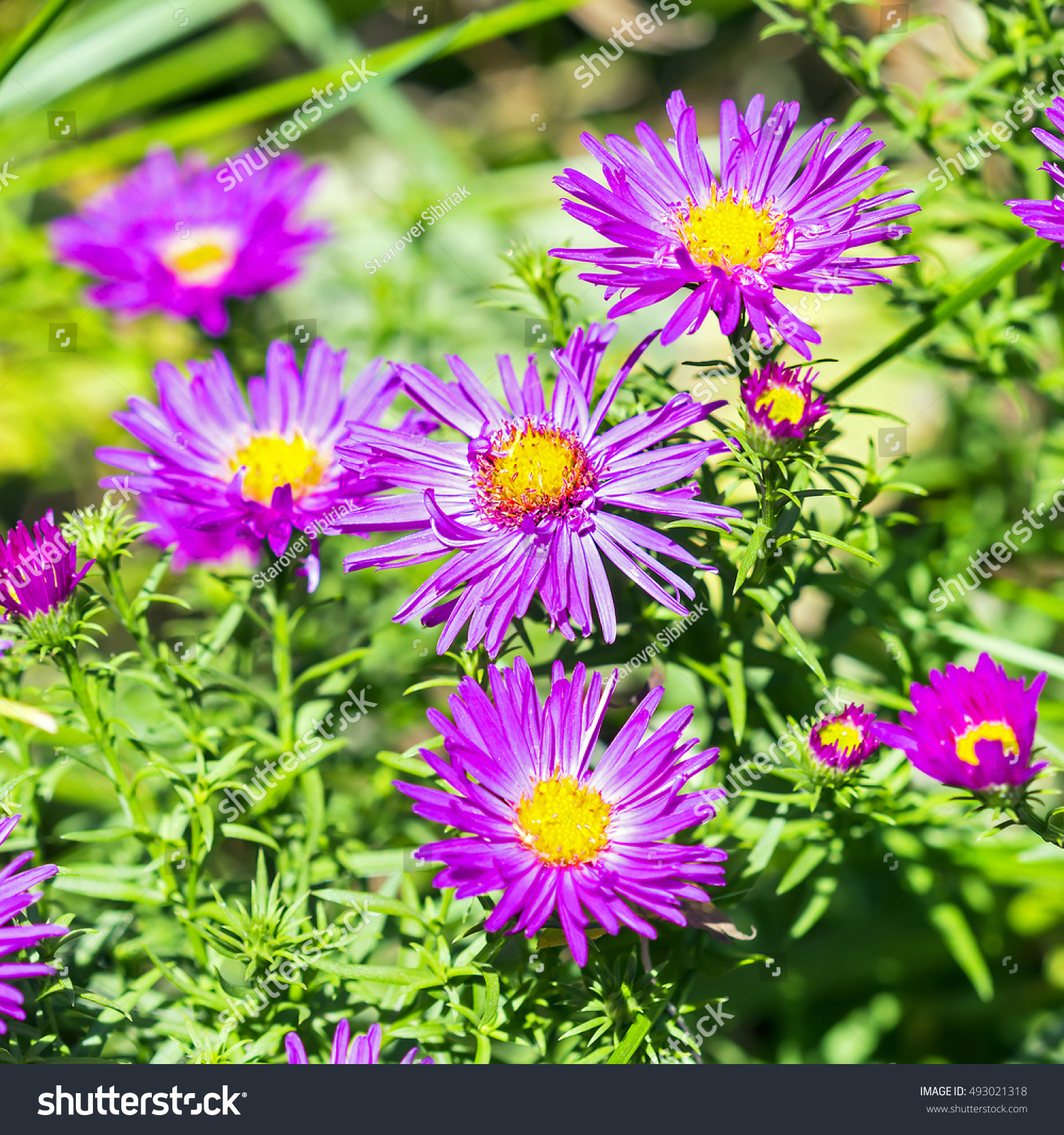 The Cushion Aster Aster Dumosus Autumn Perennial Aster With