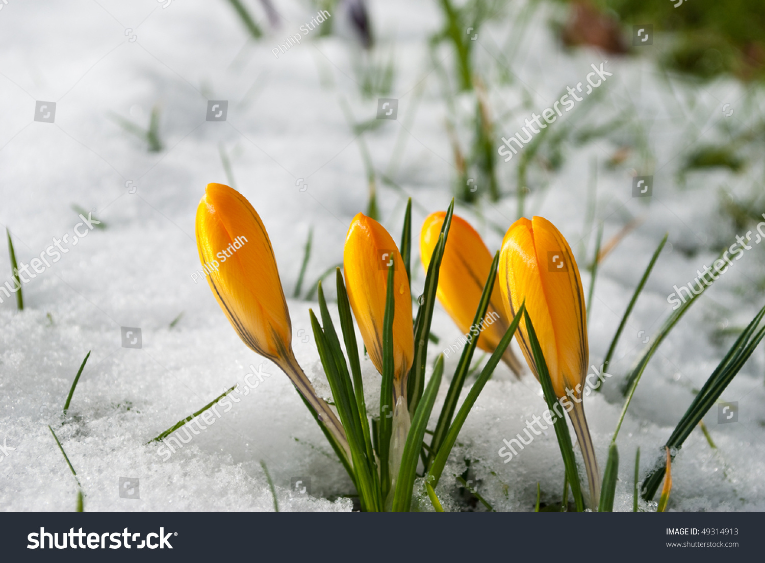 Spring Flowers Covered Snow Stock Photo Edit Now 49314913