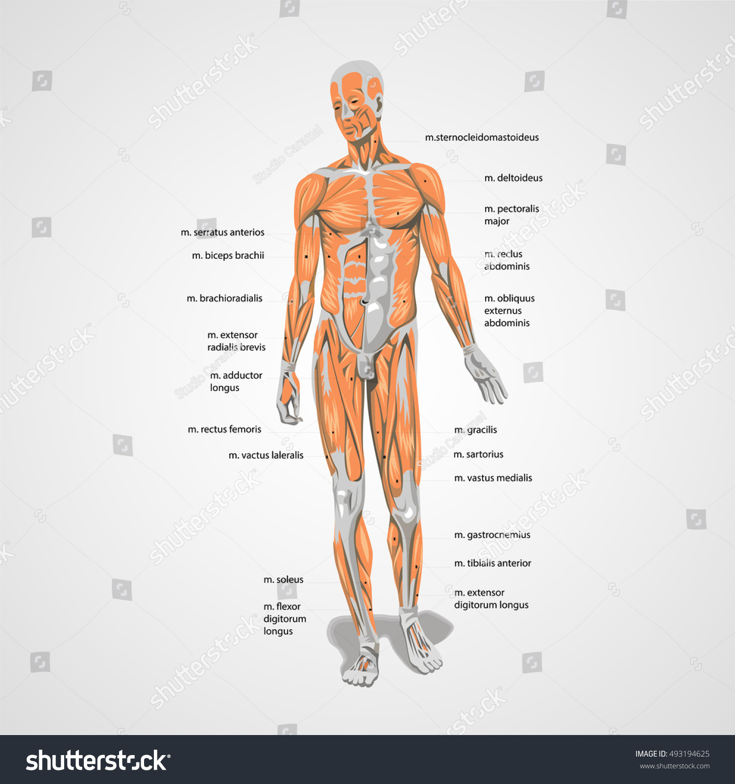 Vector Human Body Muscles Anatomy Sign Stock Vector (Royalty Free ...