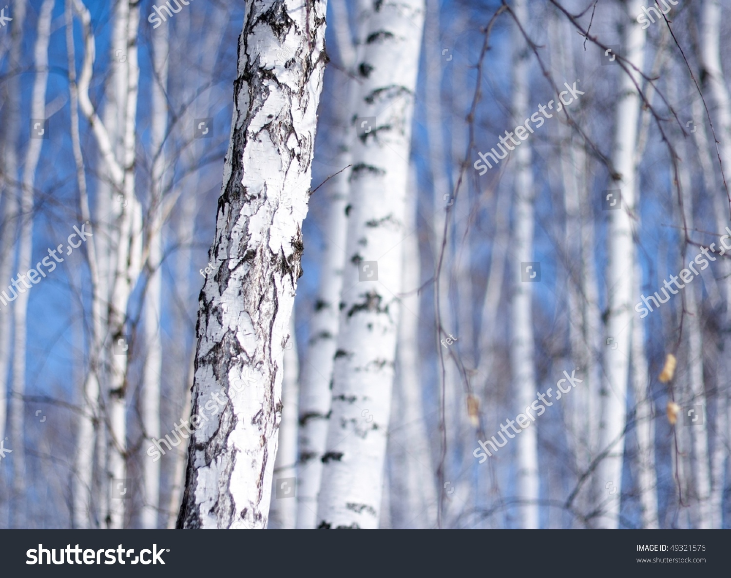 Winter birch tree forest the environmental background stock photo