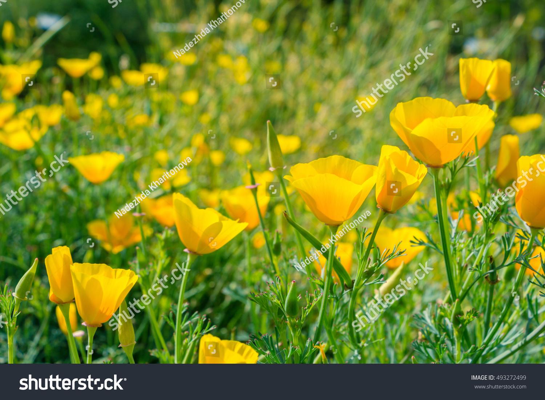 Royalty Free Hunnemannia Fumariifolia Poppy Family 493272499