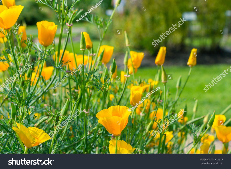 Royalty Free Hunnemannia Fumariifolia Poppy Family 493272517