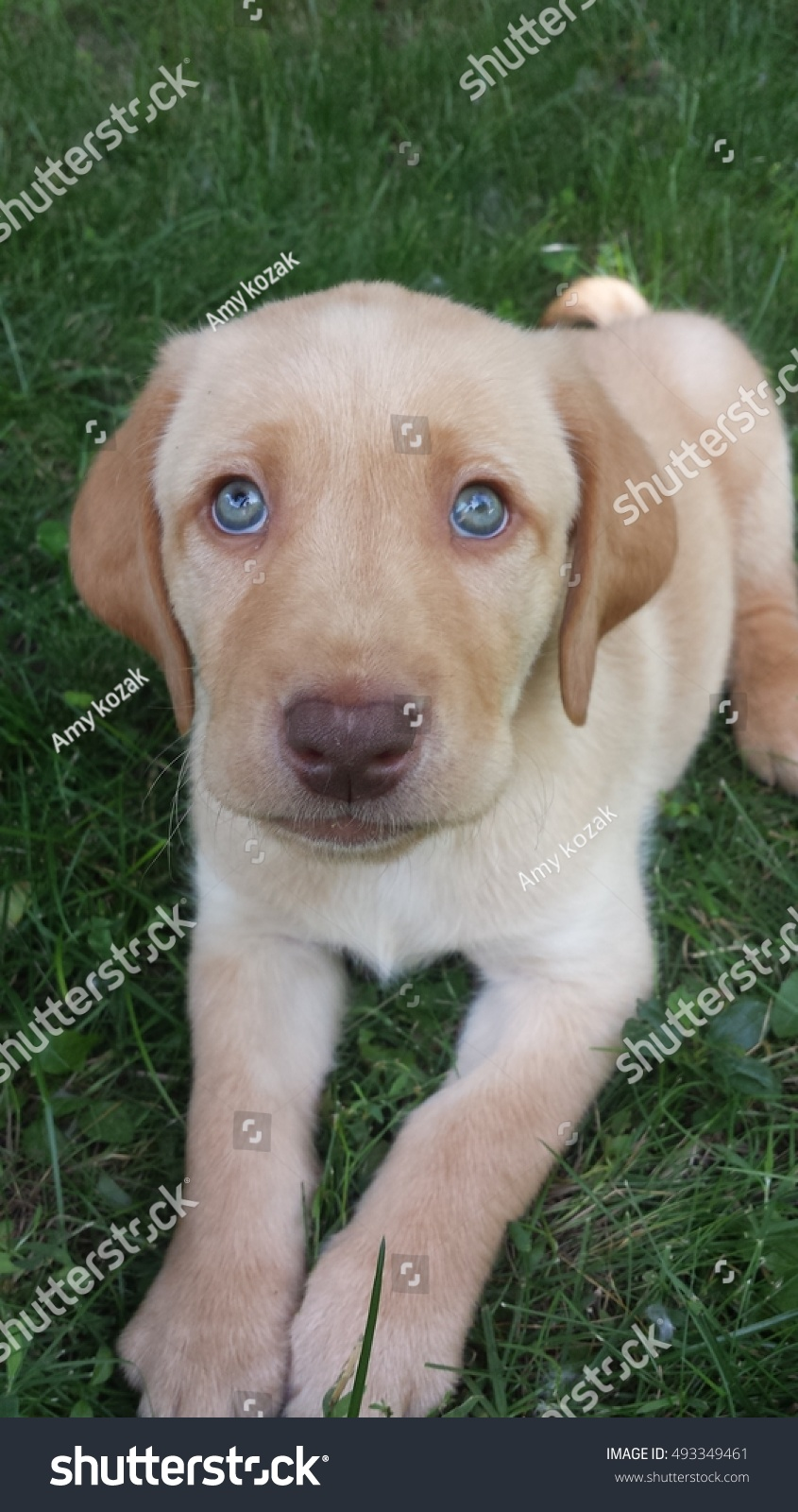 Red Fox Labrador Puppy Stock Photo Edit Now 493349461