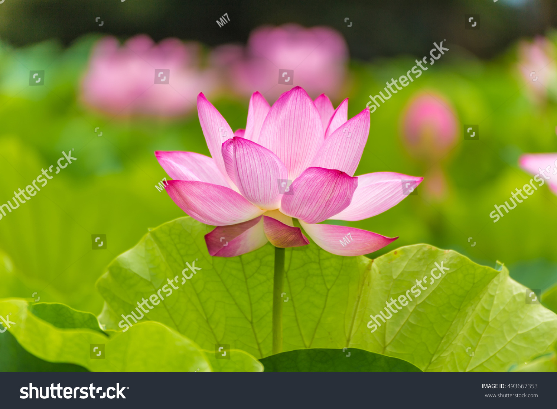 Lotus flowerbackground lotus leaf lotus flower stock photo royalty the lotus flowerckground is the lotus leaf and lotus flower and lotus bud and izmirmasajfo