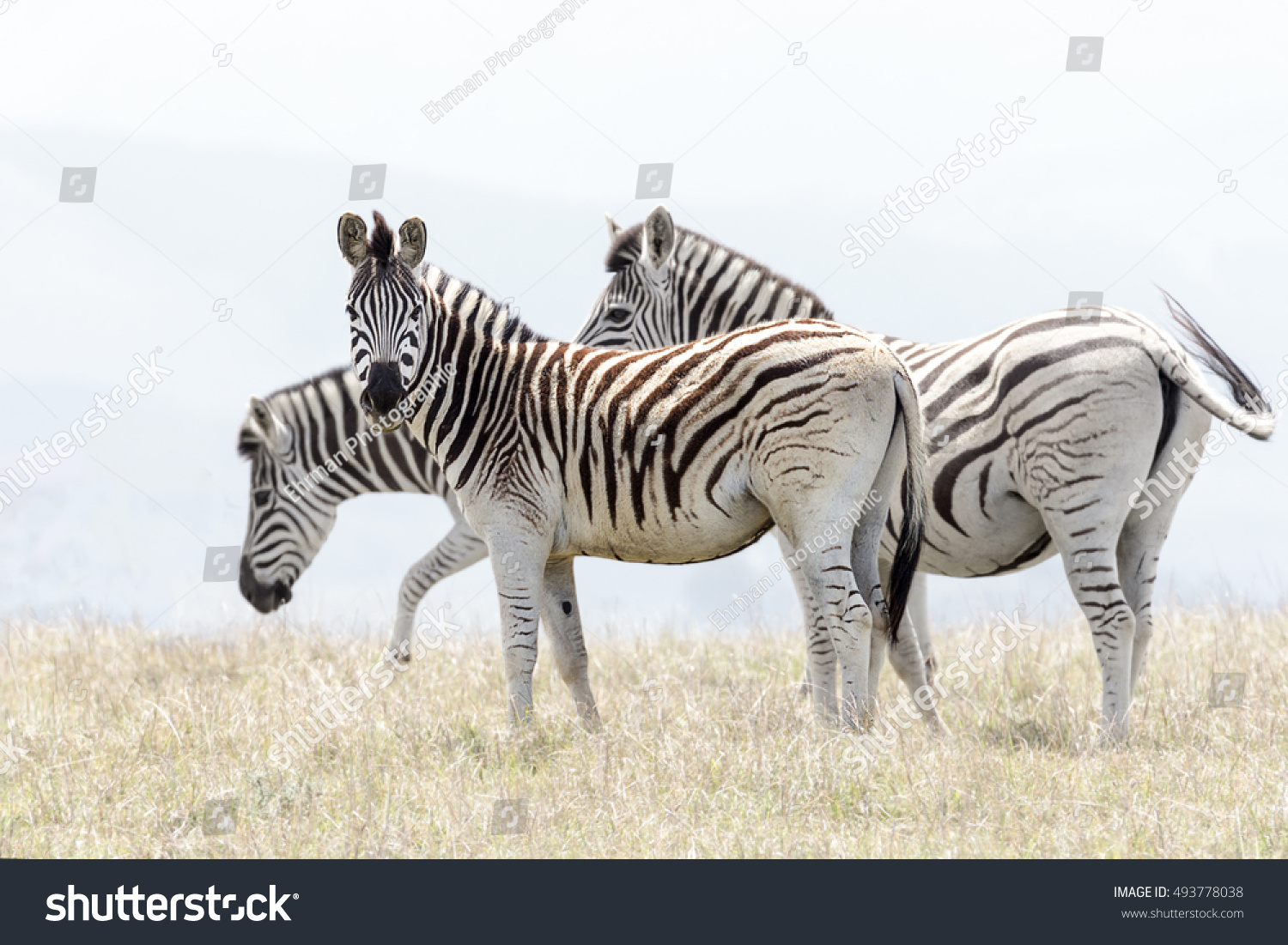 high key image of a single zebra offset from his herd #493778038