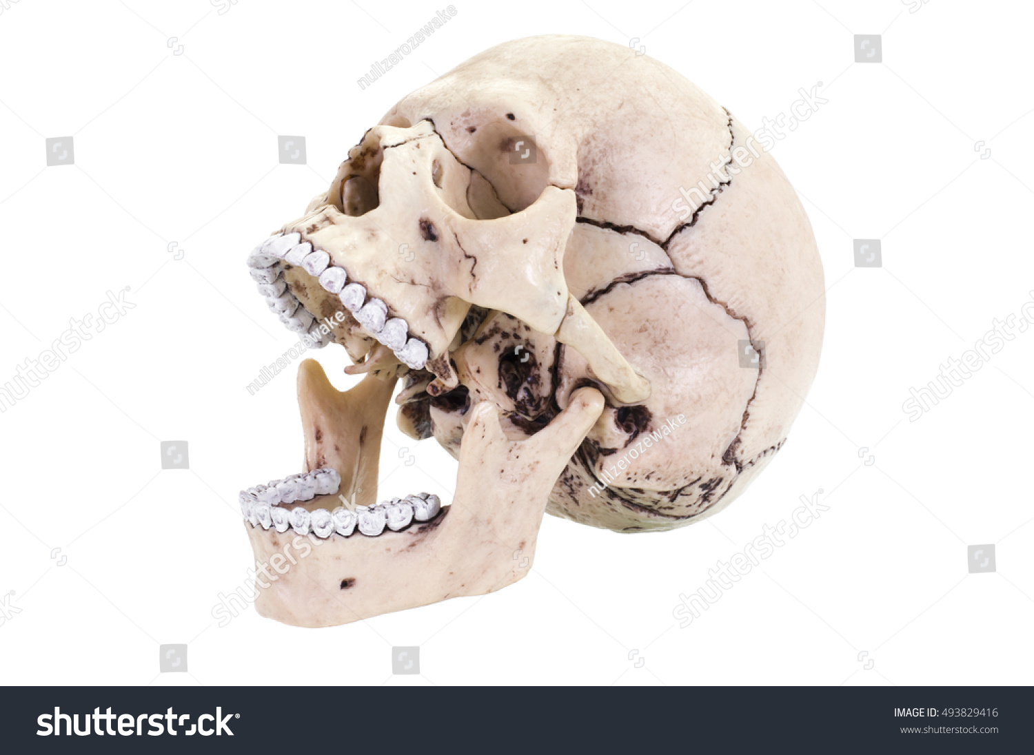 Royalty Free Human Skull Open Mouth Front Left 493829416 Stock