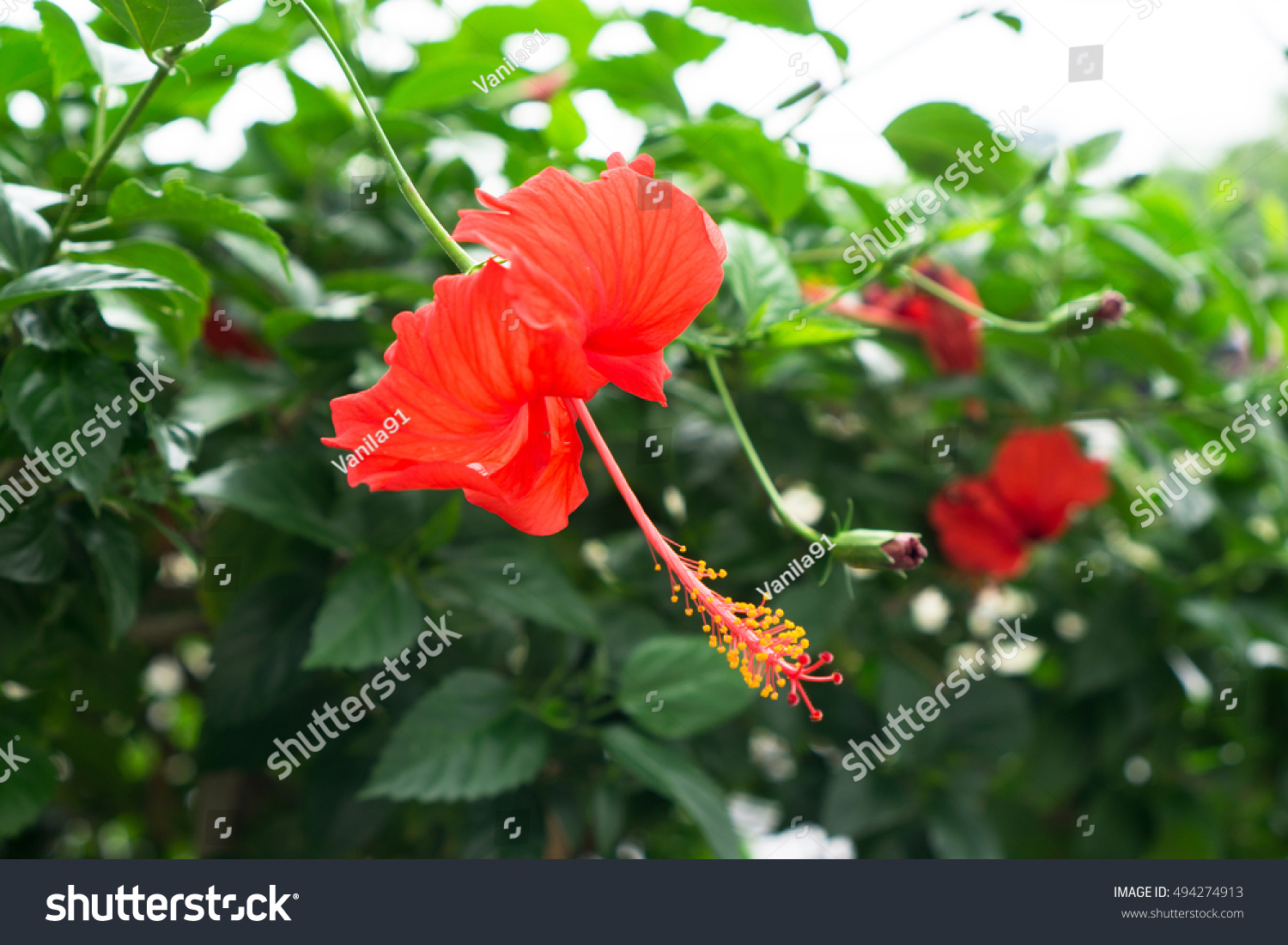 Red chinese rose shoe flower flower stock photo edit now shutterstock red chinese rose shoe flower or a flower of red hibiscus with green leaves izmirmasajfo