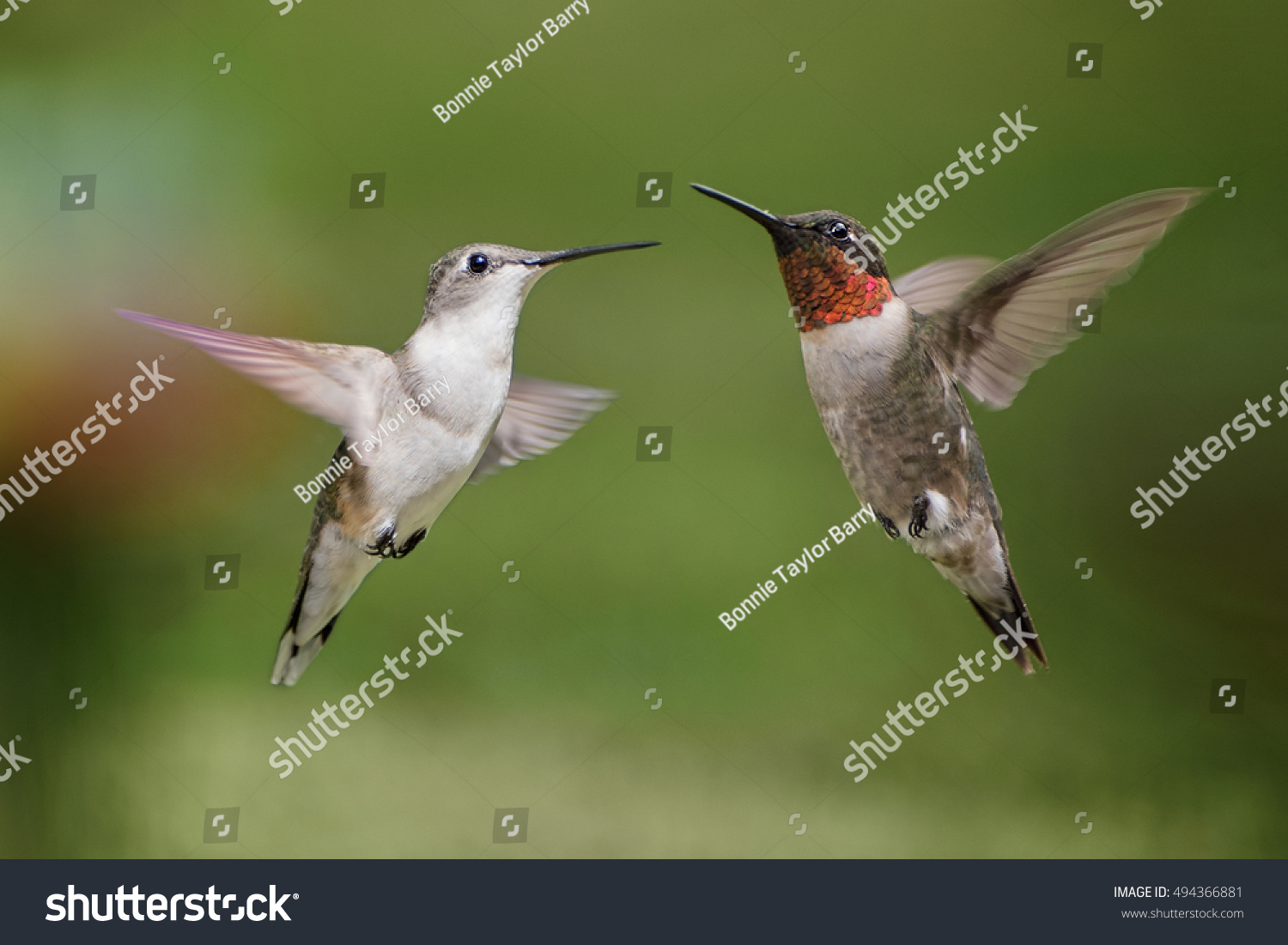 Male Female Ruby Throated Hummingbirds Stock Photo Edit Now