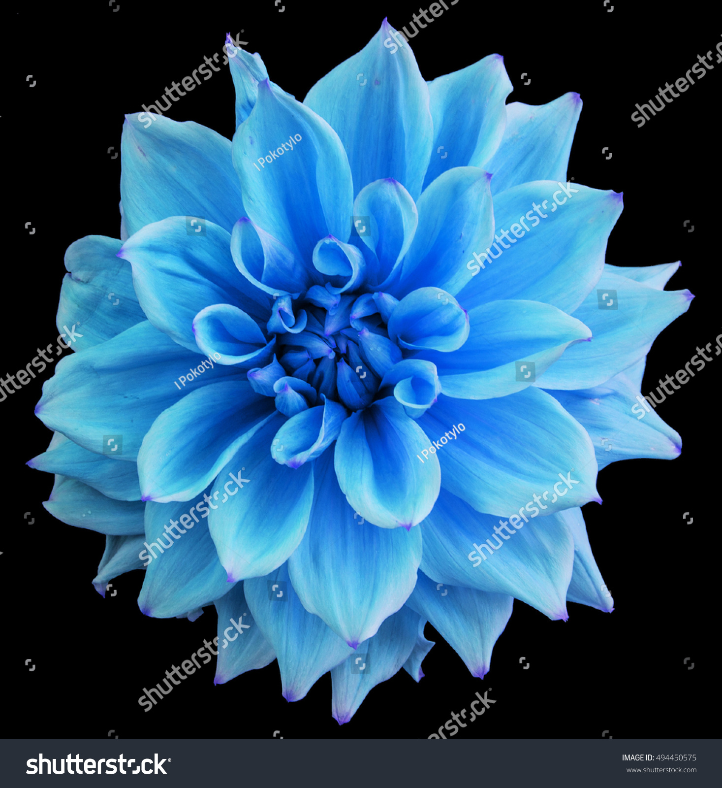 Tender Blue Dahlia Flower Isolated On Stock Photo Edit Now