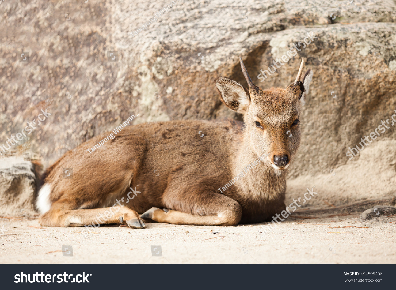 Deer sitting in front of the rock