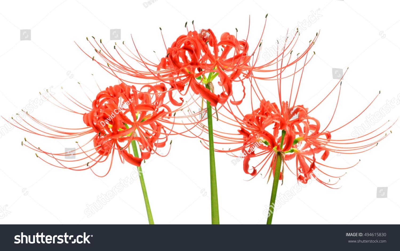 Red spider lily flowers lycoris radiata stock photo edit now red spider lily flowers or lycoris radiata isolated on white background izmirmasajfo