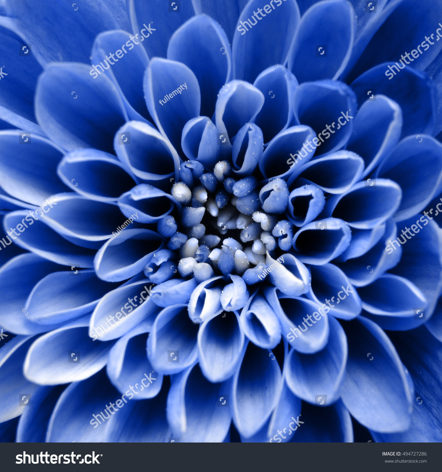 Blue Flower Background Macro Blue Aster Stock Photo Edit Now