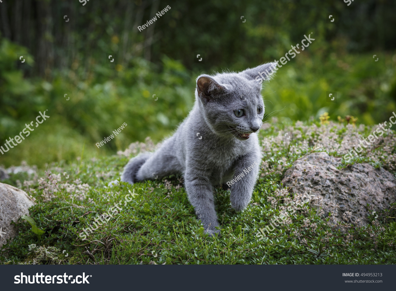 Grey Little Cat Breed Russian Blue Stock