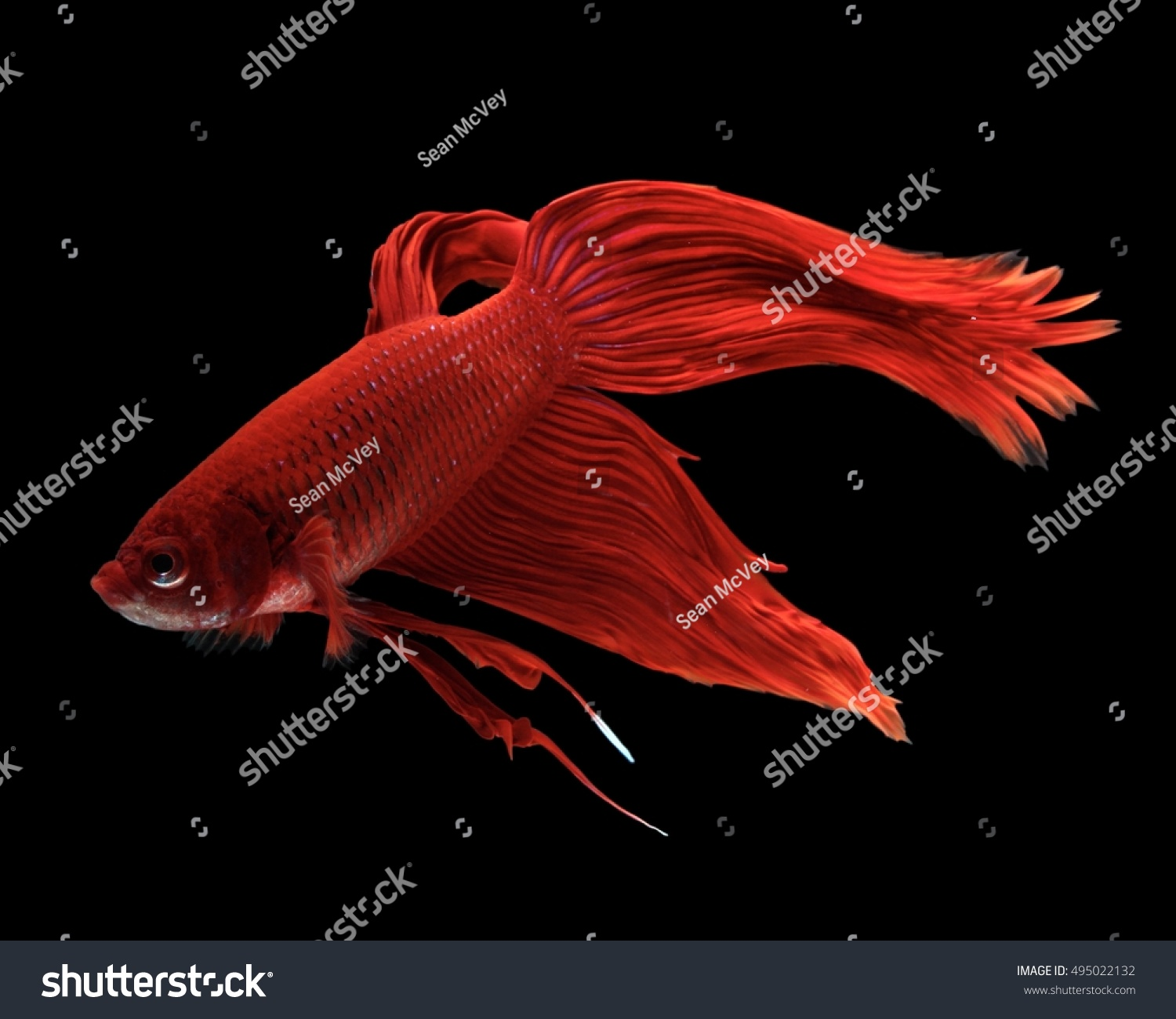 Male Red Veiltail Betta Fish Isolated Stock Photo (Edit Now ...