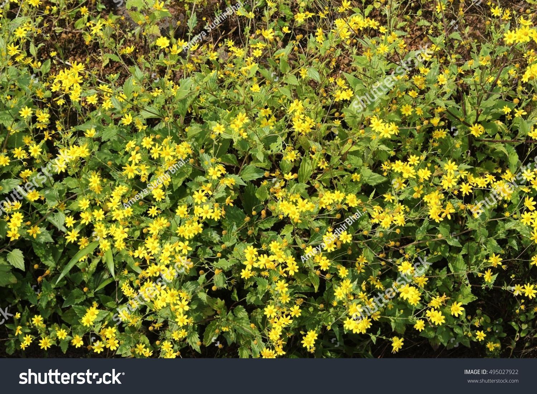 Bush of yellow flowers ez canvas id 495027922 mightylinksfo