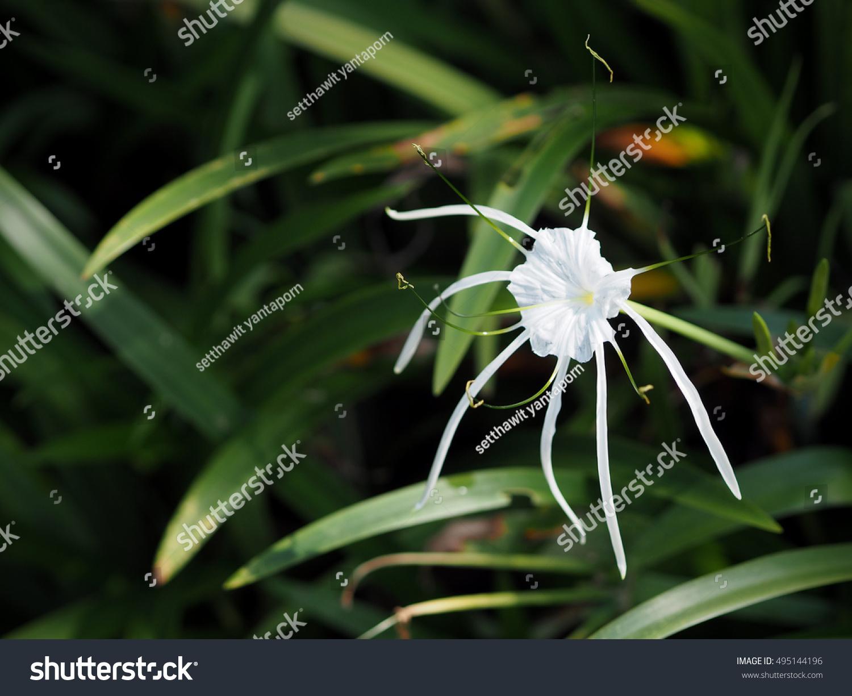 Crinum asiaticum white spider lily flower stock photo 495144196 crinum asiaticum or white spider lily flower in garden soft focus izmirmasajfo Image collections