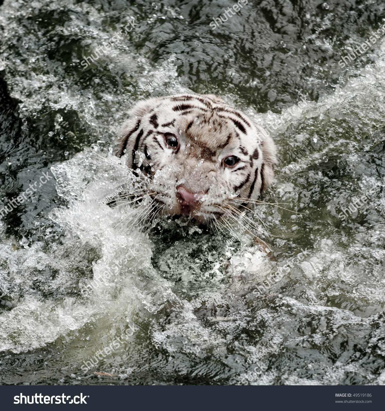 wild white tiger roaring coming out stock photo (edit now) 49519186