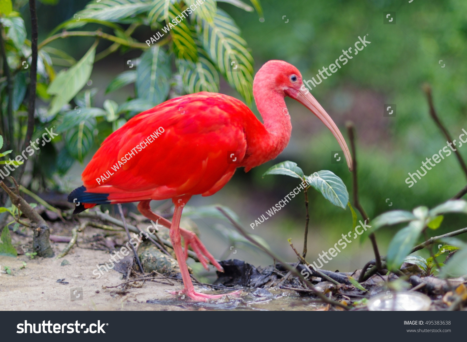 Close red bird scarlet ibis selective stock photo 495383638 close up of red bird scarlet ibis selective focus buycottarizona Choice Image
