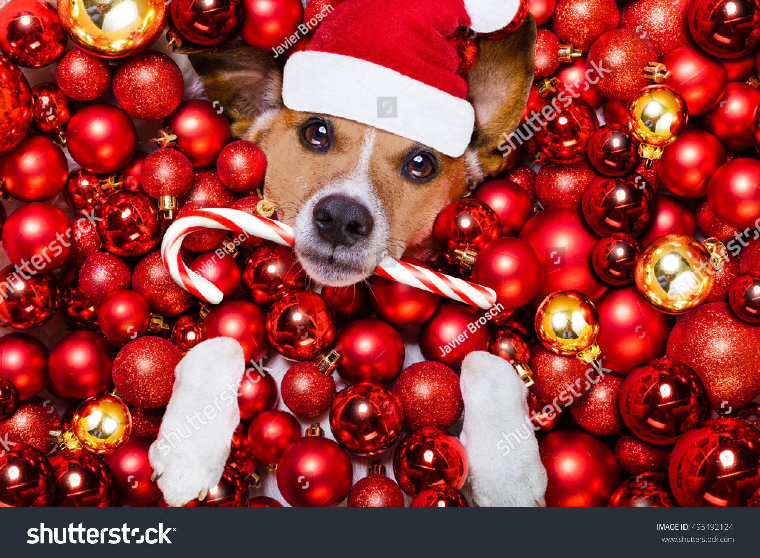 Jack russell terrier dog santa claus stock photo