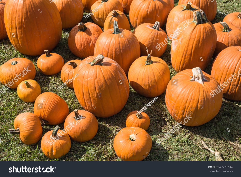 Halloween Pumpkin Patch with many bright orange pumpkins on display ...