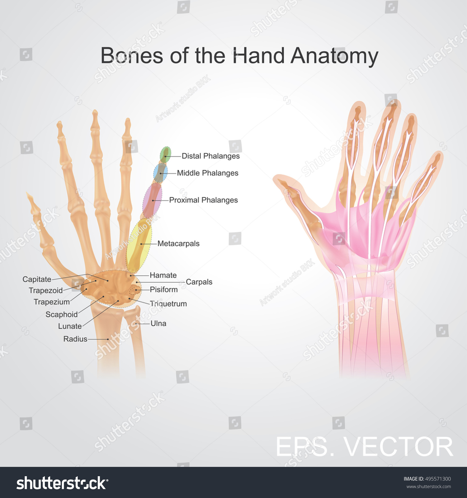 Anatomy Human Hand Has Five Fingers Stock Photo (Photo, Vector ...