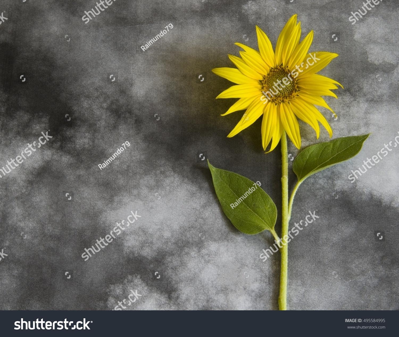 Yellow Sunflower On Dark Background