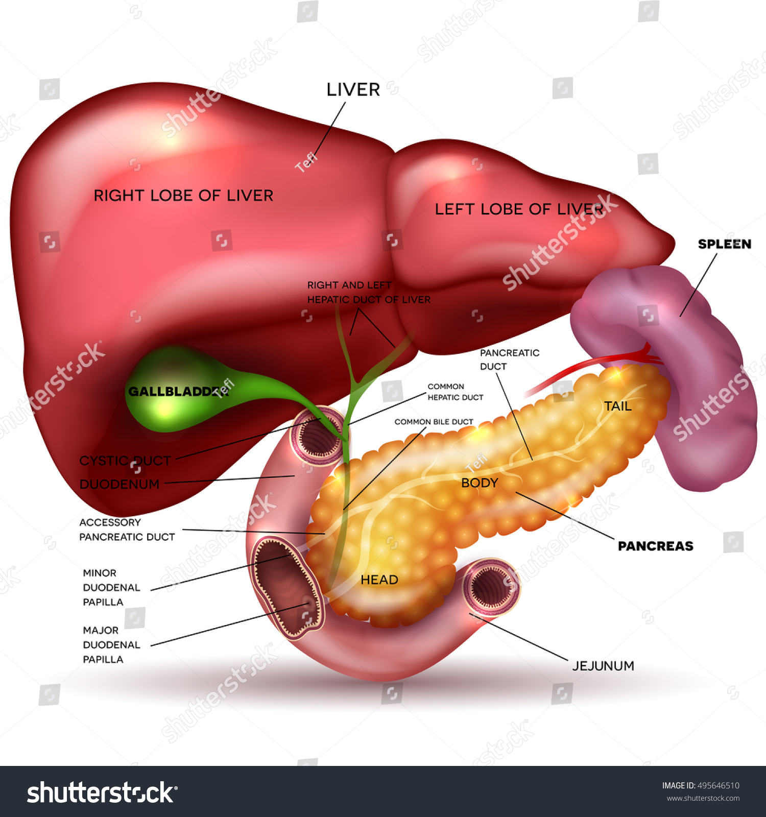 Liver Pancreas Gallbladder Spleen Detailed Drawing Vector de ...