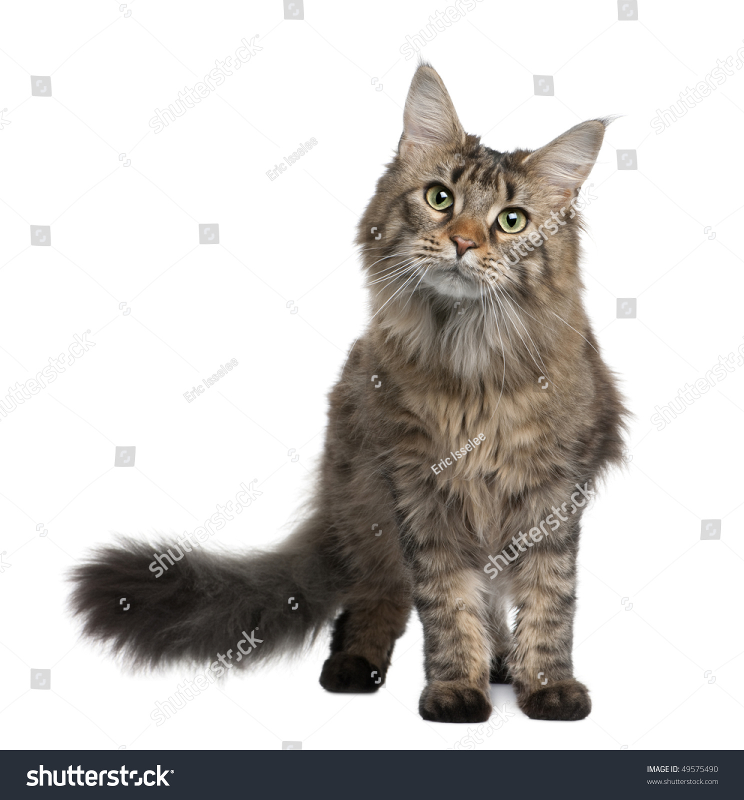 Maine Coon, 1 Year Old...