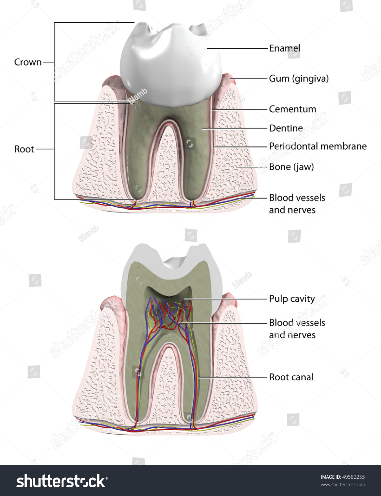 Molar Tooth With Cross Section To Show Blood Supply And
