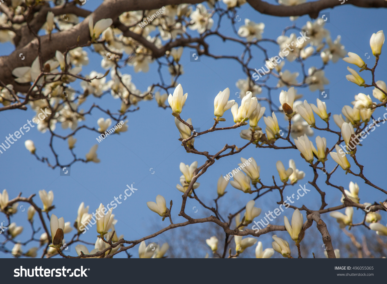 Some Magnolia Flowers In Spring Park Ez Canvas