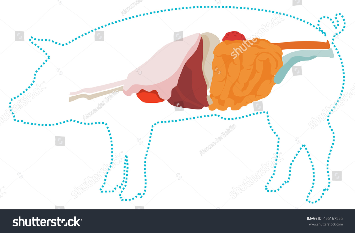 Vector Pig Anatomy Digestive System Stock Vector (Royalty Free ...