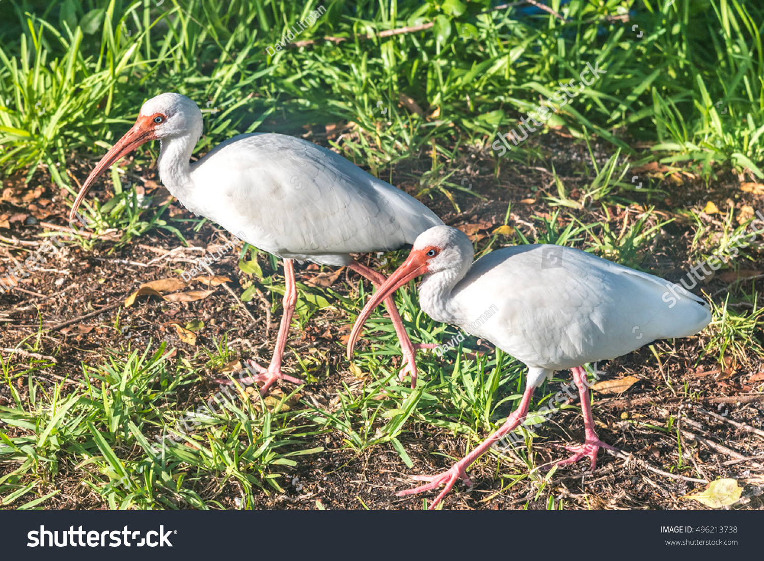 The American White Ibis (Eudocimus albus) has a very long beak.  They range from Baja California, east through the Gulf states.  They are common in the Florida keys, including this pair in Key West.