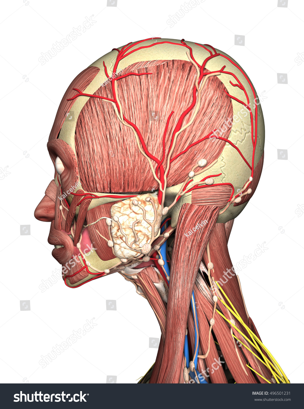 Anatomy Head Side View 3 D Rendering Stock Illustration 496501231