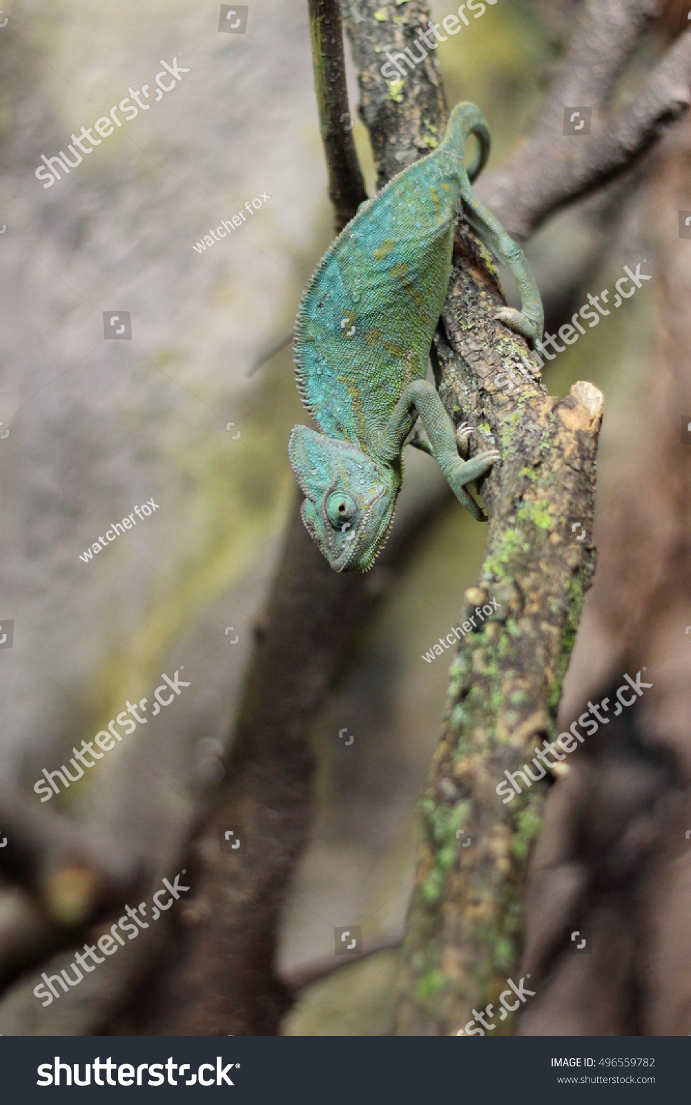 chameleon iguana stock photo 496559782 shutterstock
