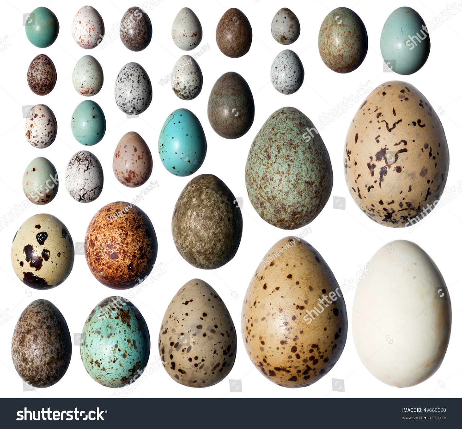 Eggs of birds in front of white background stock photo 49660000