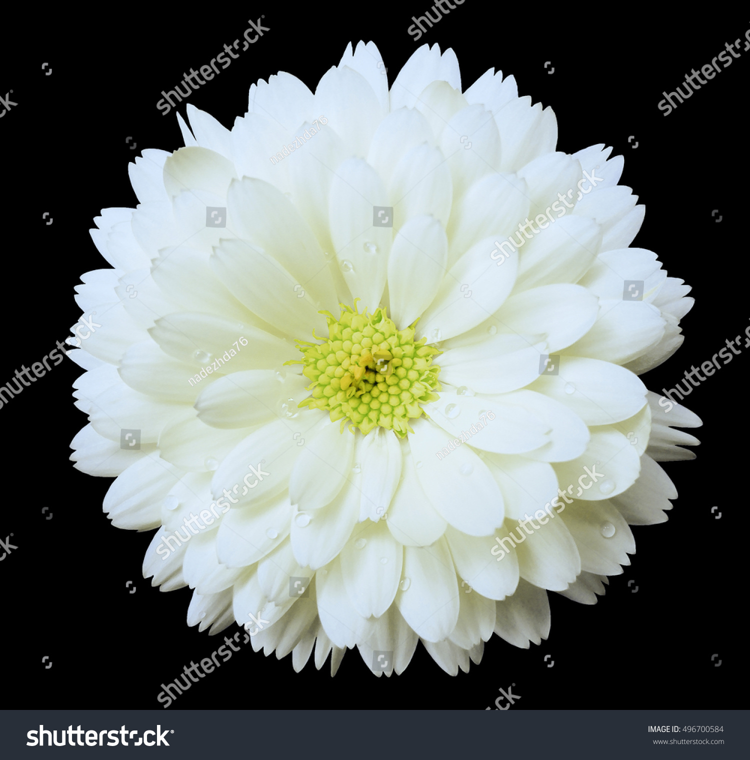 White Flower Calendula The Black Isolated Background With Clipping