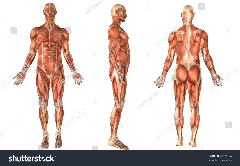 Muscle Anatomy Stock Illustration 49671106 Shutterstock