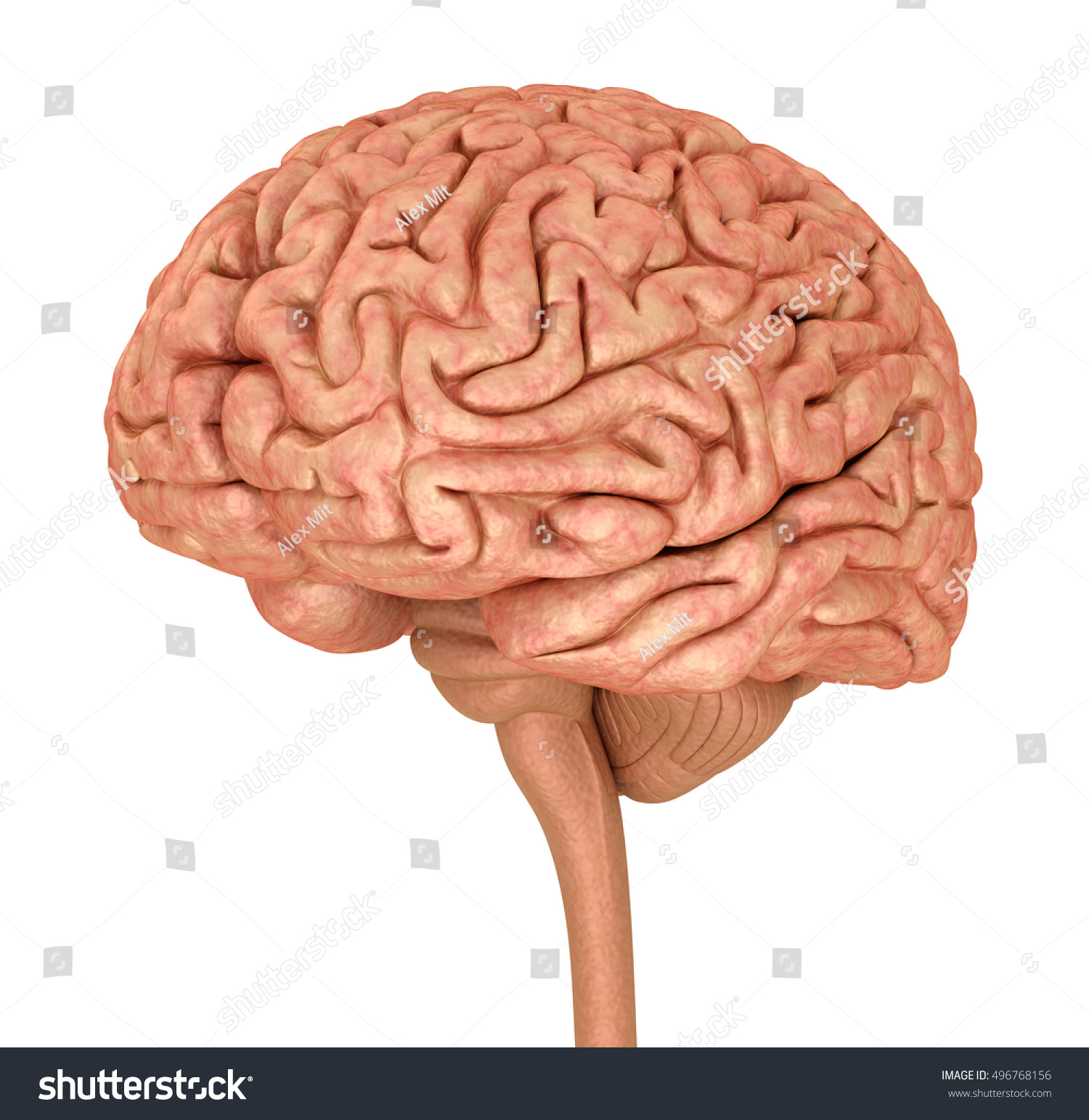 Human Brain 3 D Model Isolated On Stock Illustration 496768156 ...
