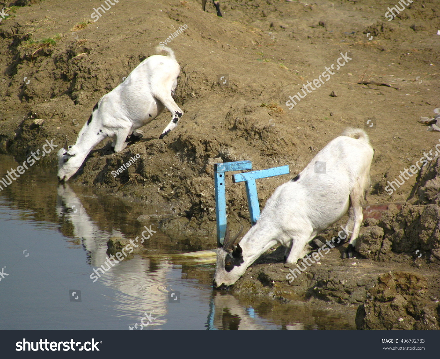 african goats drinking water white nile stock photo edit now