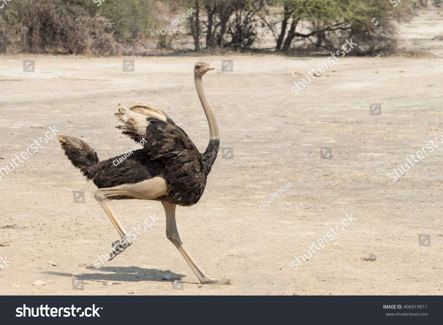Young male ostrich (Struthio camelus) running in the Mahango Game Reserve within Bwabwata National Park Caprivi Strip, Namibia
