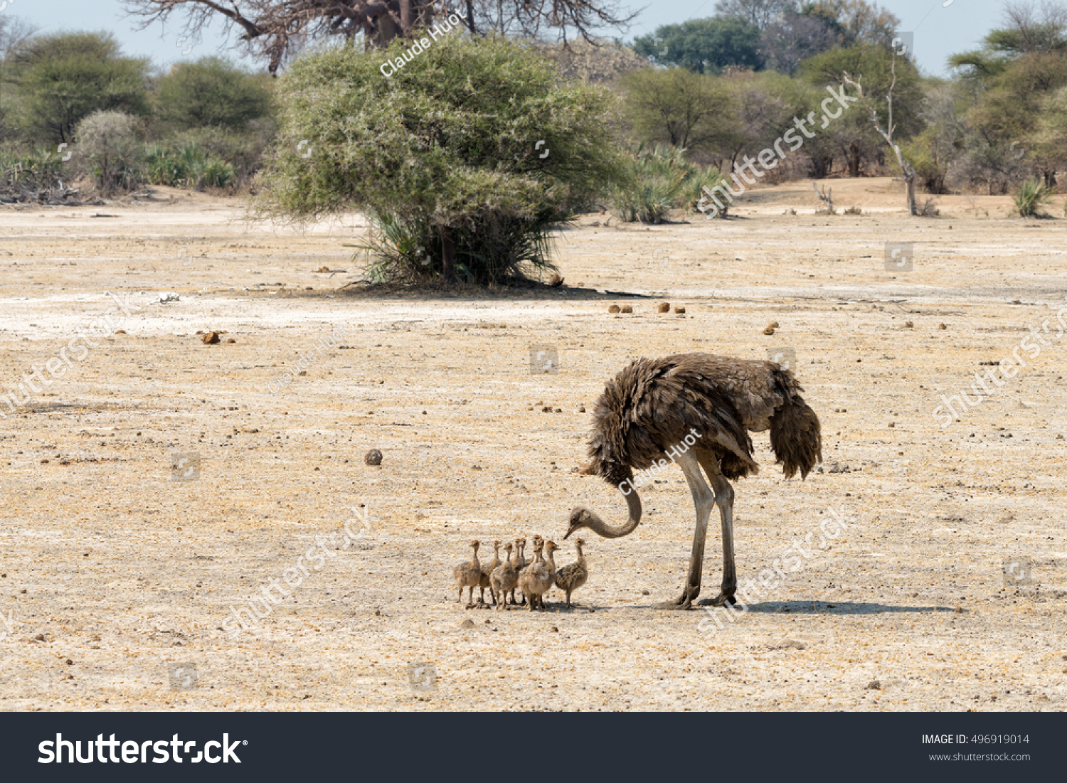Female ostrich (Struthio camelus) with many chicks in the Mahango Game Reserve within Bwabwata National Park, Caprivi Strip, Namibia.