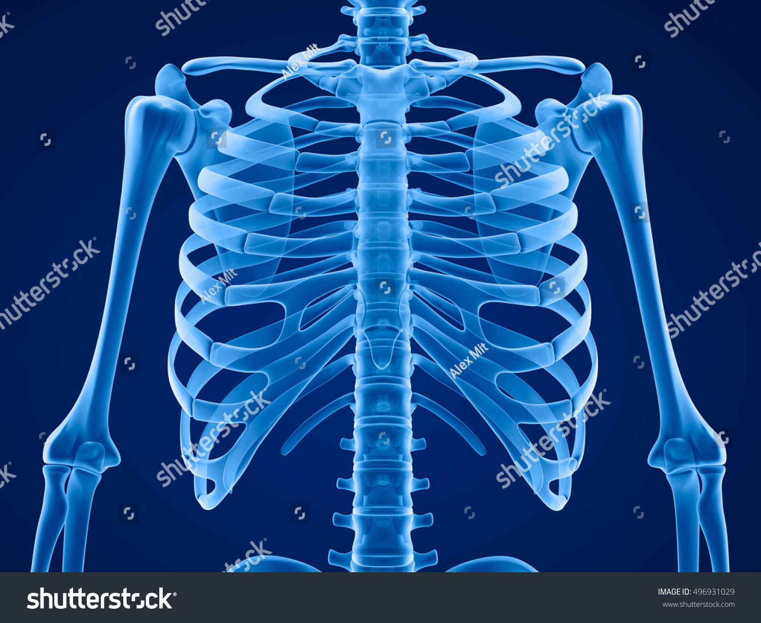 Human Skeleton Breast Chest Front View Stock Illustration 496931029