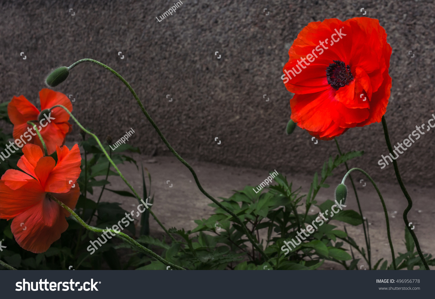 Wild poppy flower symbol remembrance stock photo 496956778 wild poppy flower a symbol of remembrance buycottarizona