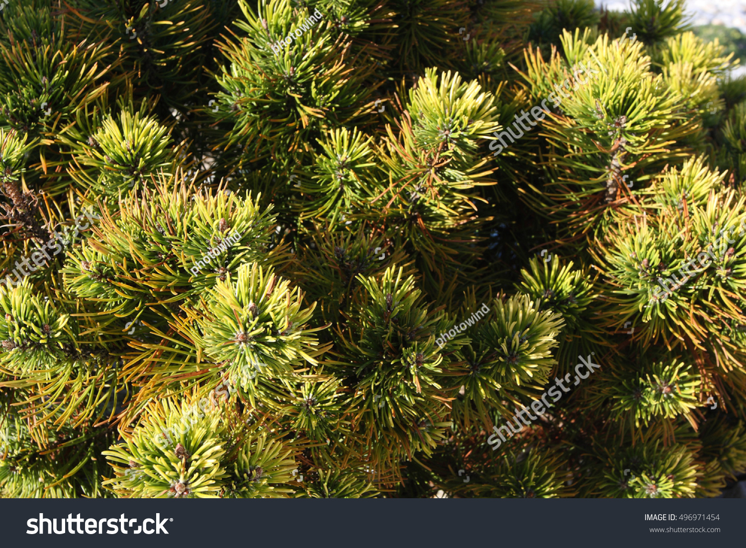 Cones on pine with resin, shallow deep of field. Selective focus ...
